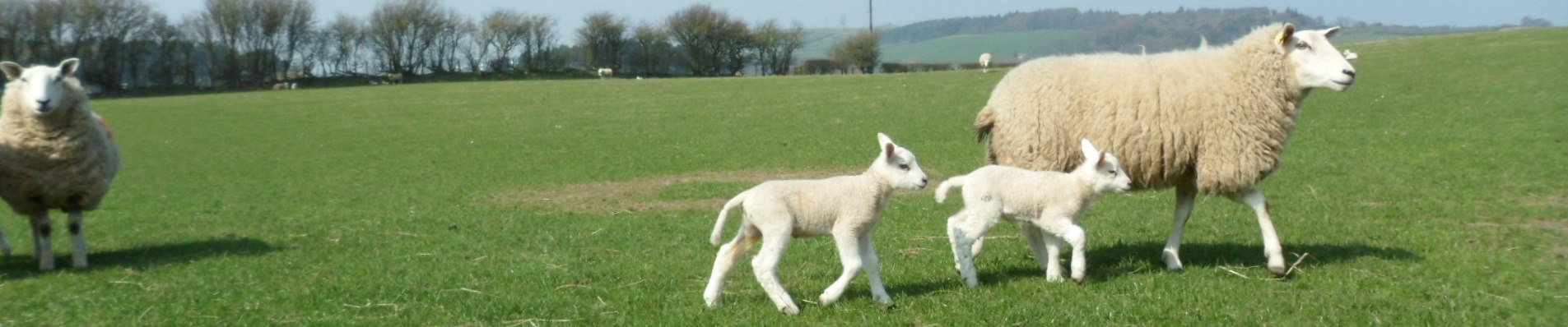 Young lambs in the fields near Llanasa